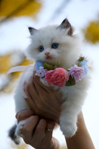 person-holding-white-kitten-with-flowers-necklace