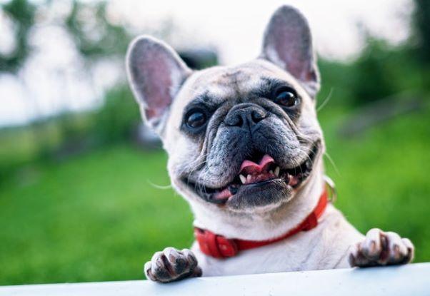 white short haired dog smiling